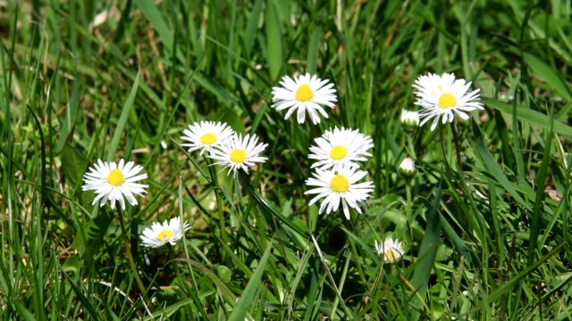 Daisy in the meadow in spring, Heppenheim, Hesse, Germany