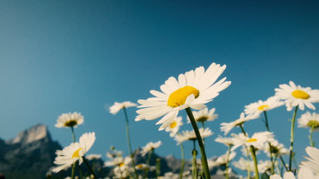 daisy in the wind in close-up. - wildflower stock videos & royalty-free footage