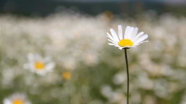 vidéos et rushes de daisy dans le vent - étamine