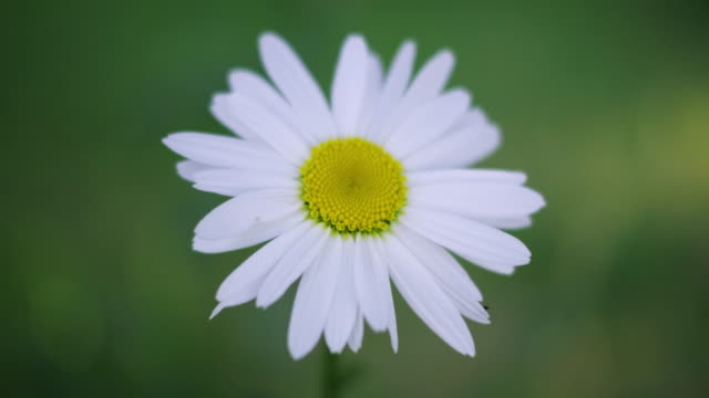 daisy macro spring flowers - daisy stock videos & royalty-free footage