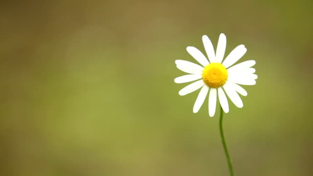 daisy on brown background - daisy stock videos & royalty-free footage