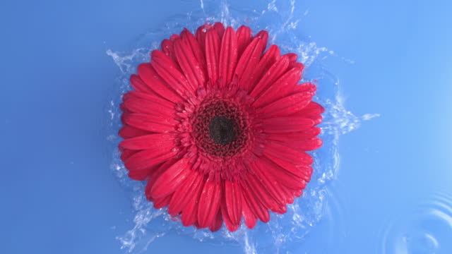 daisy red gerbera flower is falling into blue pure water splashing with drops creating waves in slow motion at 1000 fps top shot in studio a concept of beauty nature and life 4k - daisy stock videos & royalty-free footage