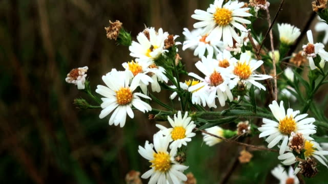 daisy white wildflowers - daisy stock videos and b-roll footage