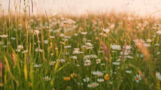 ms daisy wildflowers growing in idyllic,tranquil,rural field - margherita video stock e b–roll