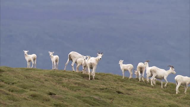 dall sheep graze on a grassy hill. - hill点の映像素材/bロール
