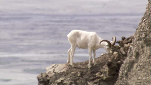 a dall sheep looks at a crevice on a cliff ledge. - crevice stock videos & royalty-free footage