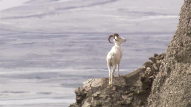 vídeos de stock e filmes b-roll de a dall sheep stands above a wilderness fjord. - peitoril de janela