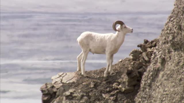 vídeos de stock e filmes b-roll de a dall sheep stands on a cliff above a fjord. - peitoril de janela