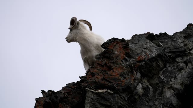 dall sheep - bighorn sheep stock videos & royalty-free footage