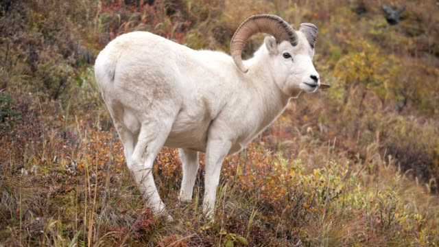 dall sheep - sheep stock videos & royalty-free footage