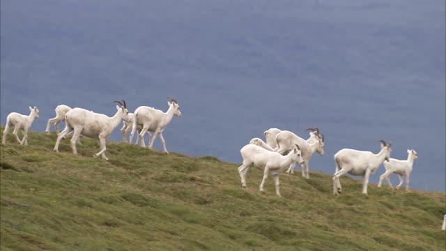dall sheep walk along a grassy hill. - bighorn sheep stock videos & royalty-free footage