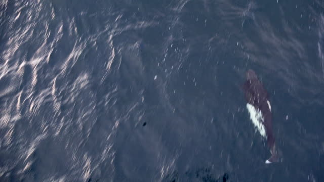 dall's porpoise, riding bow wave, alaska - ネズミイルカ点の映像素材/bロール
