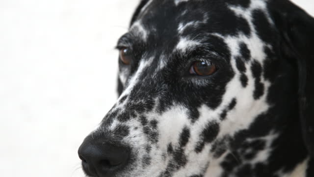 dalmatian female dog close up of the face. - dalmatian dog stock videos and b-roll footage