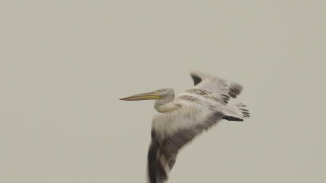 vídeos de stock e filmes b-roll de dalmatian pelican (pelecanus crispus) - pelicano