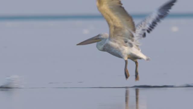 dalmatian pelican (pelecanus crispus) - pelican stock videos & royalty-free footage