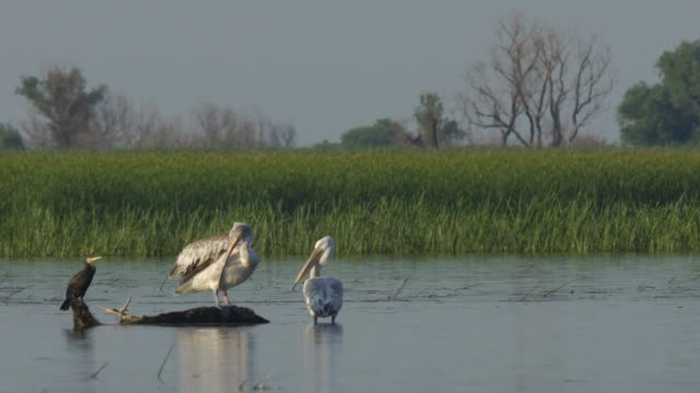 dalmatian pelican (pelecanus crispus) - water's edge stock videos & royalty-free footage