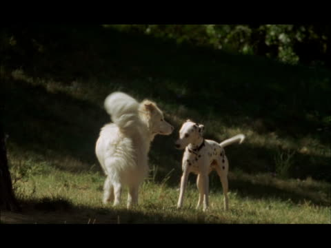 a dalmatian plays with another dog in a park. - dalmatian dog stock videos and b-roll footage