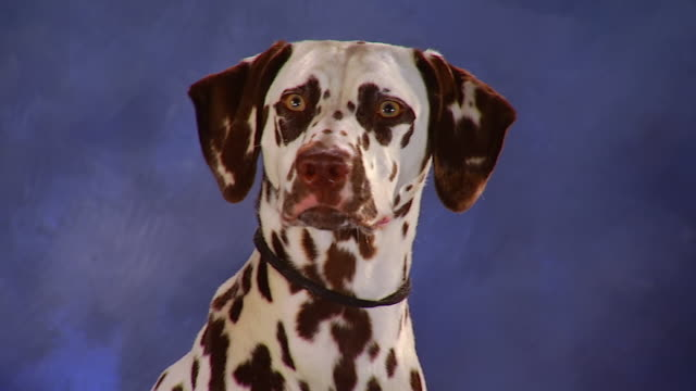 ms dalmatian with brown spots sits in front of backdrop / united states - dalmatian dog stock videos and b-roll footage