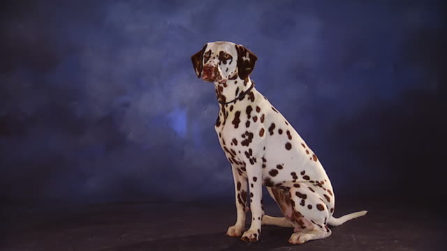 ws dalmatian with brown spots sits in front of backdrop / united states - dalmatian dog stock videos and b-roll footage