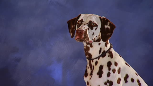 ms tu dalmatian with brown spots sitting in front of backdrop / united states - dalmatian dog stock videos and b-roll footage