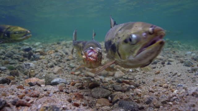vídeos de stock e filmes b-roll de a damaged salmon reattacking / dmz, south korea - salmão animal