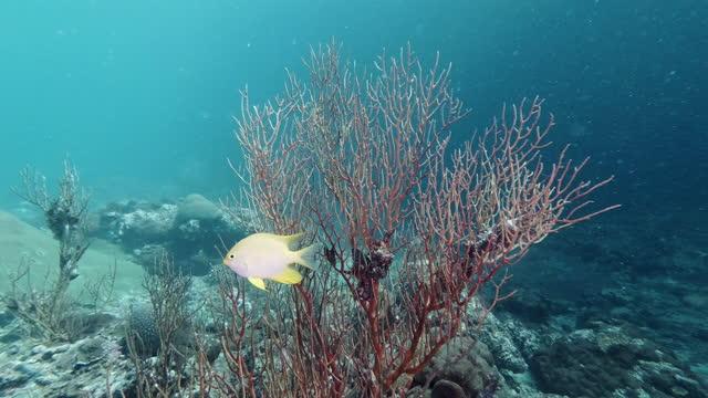 stockvideo's en b-roll-footage met de vissen die van de dame nest op overzeese ventilator koraalrif beschermen - animal behaviour