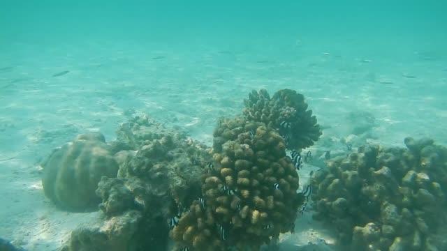 Damselfish Dascyllus Aruanus On Pocillopora (Wart Coral)