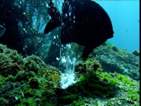 Damselfish grazes near hydrothermal vent, New Zealand