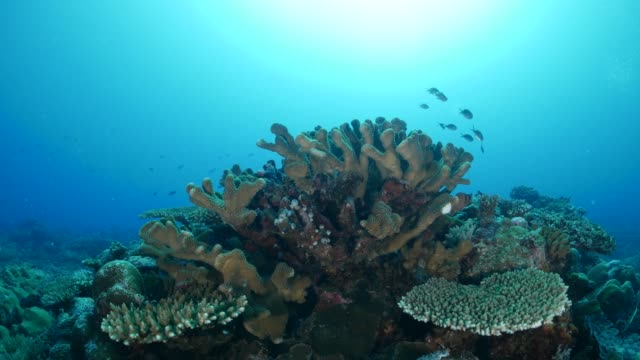damselfish hiding in hard coral undersea - palau stock videos & royalty-free footage