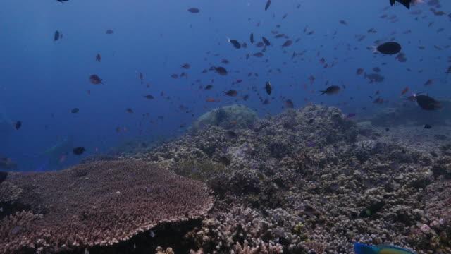 damselfish, parrotfish, schooling, coral reef, tropical sea - damselfish stock videos & royalty-free footage