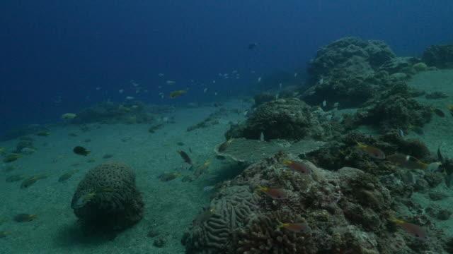 Damselfish school around the undersea reef at Ogasawara, Japan