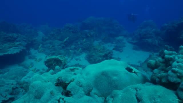 Damselfish schooling at undersea coral reef, Ogasawara Island, Japan