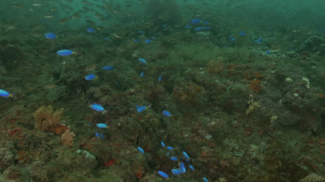 damselfish schooling at undersea coral reef, taiwan - corallo molle corallo video stock e b–roll