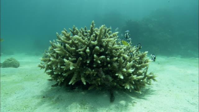 damselfish swim around staghorn coral on the floor of the great barrier reef. - damselfish stock videos & royalty-free footage