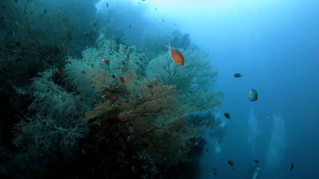 damselfish swimming around the soft coral undersea - soft coral stock videos & royalty-free footage