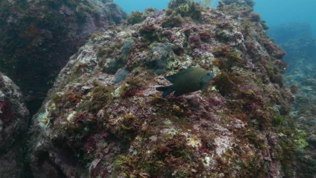 damselfish swimming close to scuba diver - damselfish stock videos & royalty-free footage