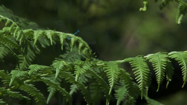 libellen am farn im wald - insekt stock-videos und b-roll-filmmaterial