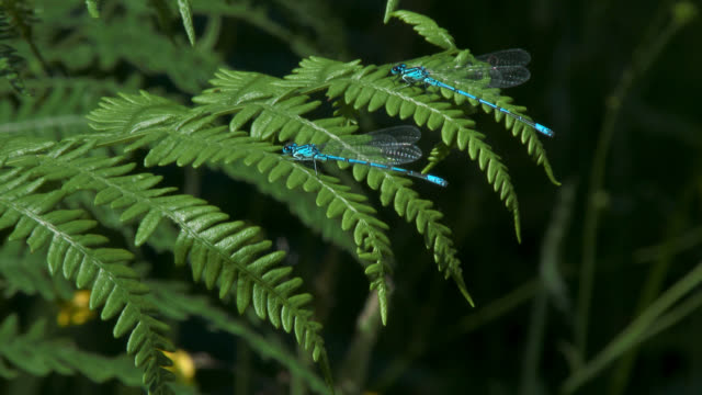 damselflies on fern in woodland - fern stock videos & royalty-free footage