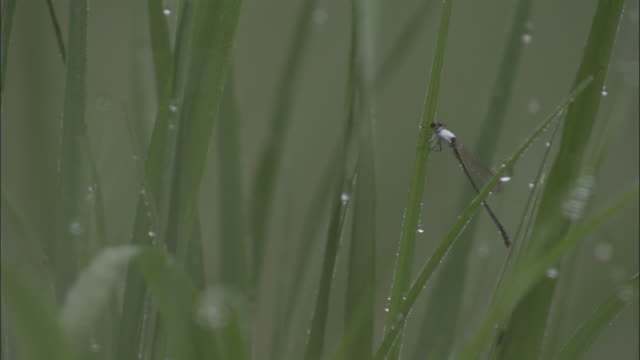 Damselfly clings to blade of grass, Xuancheng.