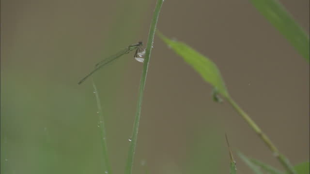 damselfly clings to blade of grass, xuancheng. - blade of grass stock videos & royalty-free footage