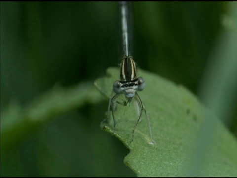 damselfly eats fly on leaf, hungary - apparato digerente animale video stock e b–roll