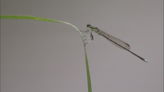 damselfly lands and clings to blade of grass, xuancheng. - blade of grass stock videos & royalty-free footage