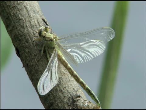 damselfly perched on branch, hungary - gespreizte flügel stock-videos und b-roll-filmmaterial