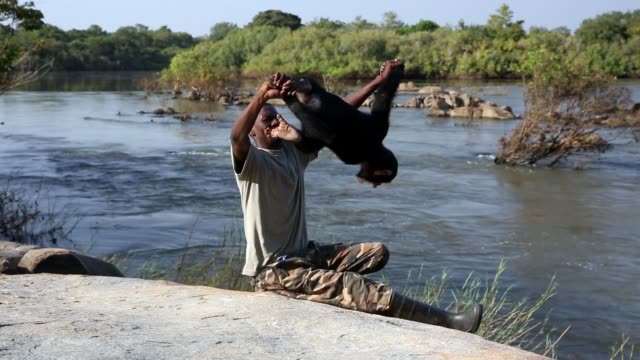 vídeos y material grabado en eventos de stock de dan rehabilitating chimpanzees video at the ccc sanctuary and rehabilitation centre for rescued orphaned chimpanzees. the centre is located on the... - chimpancé