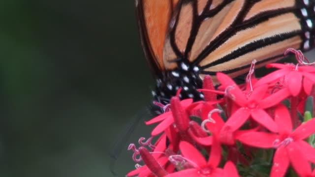 tiger plexippus - tierische nase stock-videos und b-roll-filmmaterial