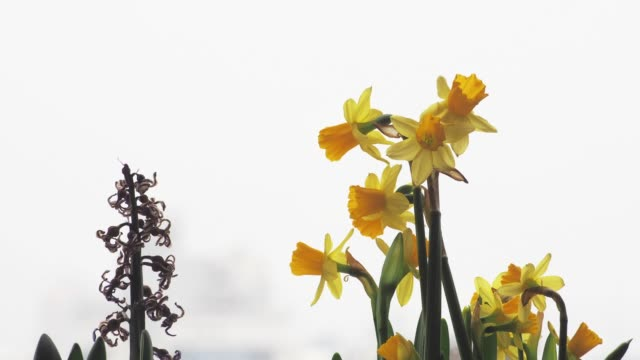 dance of blossom narcissus - houseplant stock videos and b-roll footage