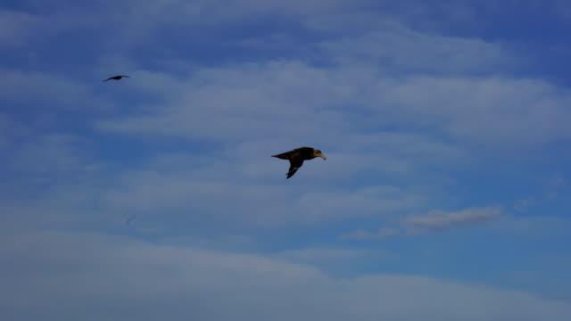 dancing albatross - albatross stock videos & royalty-free footage