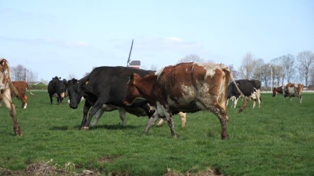 tanzen kühe - nutztier stock-videos und b-roll-filmmaterial