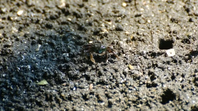 dancing crabs (waving display) on inter-tidal flats of japanese beach, mura peninsula - tide out stock videos & royalty-free footage