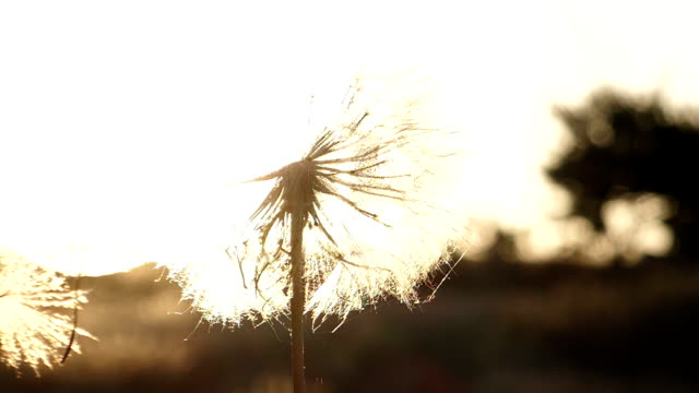 dandelion at nature with wind - freshness stock videos & royalty-free footage